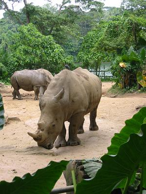 Rhinocerus, Singapore Zoo