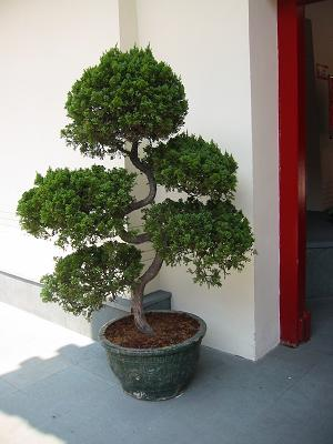 Bonsai outside Buddha Tooth Temple in Chinatown, Singapore